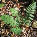"Pharaoh Lake Wilderness Area, NY. ""Fern by the trail."" Credit: John Blaser"