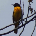 Haverhill, NH: A Baltimore oriole at Bedell Bridge State Park. Credit: Kim Wind