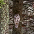 "Dayville, CT. ""Barred owl looking for an evening meal."" Credit: Paul Gazzola"