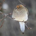 "Dalton, NH. A mourning dove, ""hunkered down waiting for spring."" Credit: Sandy Dannis"