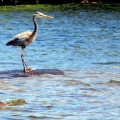 "Big Indian Pond, St. Albans, ME. ""This great blue heron sure could use some meat on those bones!""  Credit: Ed Baum"