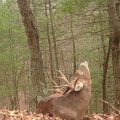 "Snydertown, PA. ""Nice buck resting during the rut. Sometimes a good stretch is good for the neck."" Credit: Bonnie Honaberger"