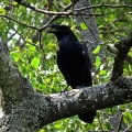 "Tioga State Forest, PA. ""A raven on the Tioga State Forest in north-central Pennsylvania."" Credit: Charlie Schwarz"