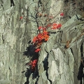 "Springfield, VT. ""Struggling red maple on a rock outcrop."" Credit: Charlie Schwarz"