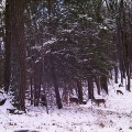 "Snydertown, PA. ""Four deer strolling in the woods in the fresh snow ... gorgeous!"" Credit: Bonnie Honaberger"