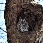 "Marcellus, NY. ""Eastern screech owl keeps watch over the woods."" Credit: Susan March"