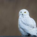 Salisbury Beach State Reservation, MA. This snowy owl was photographed at the end of March along the Massachusetts coast. Credit: Tig Tillinghast