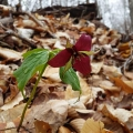 "Newport, NH: ""One of many red trillium found while cruising a wood lot in Newport."" Credit: Megan Henderson"