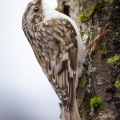Thetford, VT. Brown creeper. Credit: Tig Tillinghast