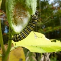 "Waterford, VT.  ""Monarch caterpillar pigging out on a milkweed pod. It is nice that we are seeing more of these this year than in recent years."" Credit: Gordon Gould"