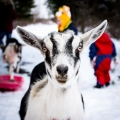 "Saratoga Springs, NY. Sledding among the trees, with goats. ""A family affair."" Credit: Abigail Sandroni"