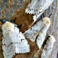 Worcester, MA. Gypsy moth mothers laying eggs. Credit: Lisa Johnson