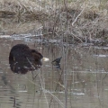 "Corinth, VT: ""Three beavers eating dinner in East Corinth."" Credit: Kim Wind"
