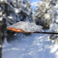 "Dalton, NH. ""Beech bud glows under ice."" Credit: AM Dannis"