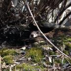 Barre, VT: Is it spring yet? A woodchuck peers out of a hollow log on a sunny March morning. Credit: Austin Doolen
