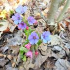 "West Hartford, VT. ""Some spring color."" Pumonaria saccharata, or Bethlehem lungwort, is a native of Europe, but is known to grow wild in Connecticut, New York, and Vermont. Credit:  Yvonne L Stone"