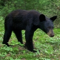 "Williamsport, PA. ""A black bear photographed by a homemade trail camera using a Nikon point-and-shoot digital camera."" Credit: Charlie Schwarz"