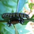 "Holderness, NH. ""Monarch and milkweed tussock moth caterpillars share the same milkweed leaf."" Credit: Nat Cleavitt"