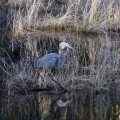 "Buckland, MA: ""Great blue heron, just after swallowing a rather large fish."" Credit: Helene Grogan"