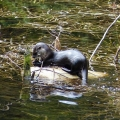 "Buckland, MA. ""River otter eating a crayfish."" Credit: Helene Grogan"