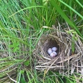 Nottingham, NH. A nest (most likely a yellow-throated warbler nest) discovered in a wetland. Credit: Emily
