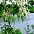 Worcester, MA. Black locust blossoms frame a lake scene. An Appalachian species, this tree was prized by New Englanders for its rot-resistant wood and now grows wild across the Northeast. Credit: Lisa Johnson