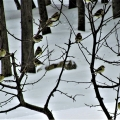 "Hermon, ME. ""A flock of goldfinches decorate the winter landscape."" Credit: Ed Baum"