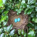 "Eastford, CT: ""Beautiful robin's eggs in a nest by my shed."" Credit: David Jakubowski"