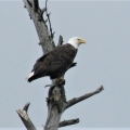 Hermon, ME. A bald eagle keeps a sharp eye on his territory. Credit: Ed Baum