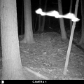 "Gilford, NH. ""Two bats flying side by side caught on my trail camera."" Credit: Bob Landry"