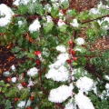 "Peterborough, NH. ""Early snow the first week of November decorated the holly by my front door."" Credit: Ann Day"
