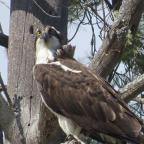 "Moretown, VT: ""Osprey arrived shortly after little pond was stocked with trout."" Credit: Mary Jane Grace"