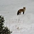 "Hermon, ME. ""A red fox pauses during a light January snowstorm."" Credit: Ed Baum"
