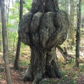 Pharaoh Lake Wilderness Area, NY. A massive burl. Credit: John Blaser