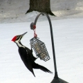 "Hermon, ME. ""A pileated woodpecker feasts on suet designed for smaller birds."" Credit: Ed"