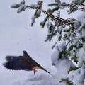 Hermon, ME. A mourning dove takes flight on a snowy March morning. Credit: Ed Baum