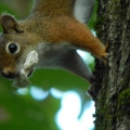 "Readsboro, VT. ""Red squirrel with a mouthful."" Credit: Teddy Hopkins"