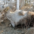 Ghost moose with heavy tick infestation. Photo: Susan C. Morse