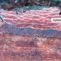 The active phloem is the thick, dark, reddish-brown band just outside the wood. The thin, white layer on the outside edge of the active phloem is the active periderm. Outside of that are layers of old, dead phloem tissue (reddish) and old periderms (the thin white lines).