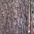 Bark Progression: These pictures show the progression of bark on a black cherry. The visible outer bark on the young tree is smooth and unbroken. It is grayish, with numerous horizontal lenticels. (Those thin, horizontal lines you see are the lenticels; they allow gas exchange between the inner and outer bark). As the growing wood exerts pressure on the outer bark, a new, active periderm forms beneath it. The outer layer of bark breaks apart and then begins to separate from the trunk, revealing the reddish-brown active periderm. As the tree matures and growth pressures continue, the original outer bark falls away; new periderm forms, and old layers break apart into scales.