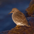 The subtle (and not-so-subtle) differences in shorebird characteristics are evident in these images. This is the purple sandpiper. Photo: Bryan Pfeiffer