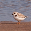The subtle (and not-so-subtle) differences in shorebird characteristics are evident in these images. This is the piping plover. Photo: Bryan Pfeiffer