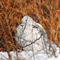 Willow ptarmigan. Photo: Susan C. Morse
