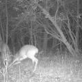 Northern Woodlands Game Camera Deer Fight Photo: Northern Woodlands